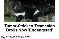 Tumor-Stricken Tasmanian Devils Now 'Endangered'