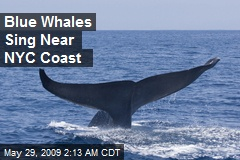 Blue Whales Sing Near NYC Coast