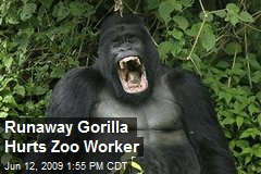 Runaway Gorilla Hurts Zoo Worker