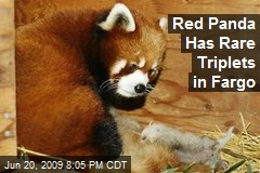 Red Panda Has Rare Triplets in Fargo