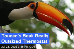 Toucan's Beak Really Outsized Thermostat