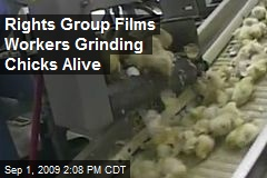 Rights Group Films Workers Grinding Chicks Alive