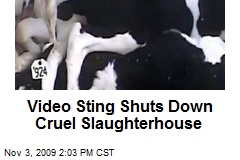 Video Sting Shuts Down Cruel Slaughterhouse