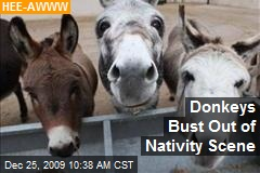 Donkeys Bust Out of Nativity Scene