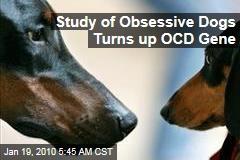 Study of Obsessive Dogs Turns up OCD Gene