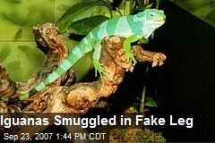 Iguanas Smuggled in Fake Leg
