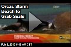 Orcas Storm Beach to Grab Seals