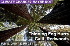 Thinning Fog Hurts Calif. Redwoods