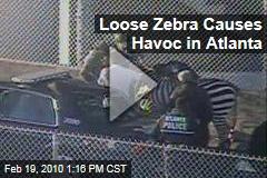 Loose Zebra Causes Havoc in Atlanta