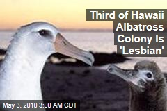 Third of Hawaii Albatross Colony Is 'Lesbian'