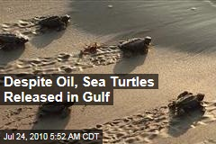 Despite Oil, Sea Turtles Released in Gulf