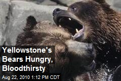 Yellowstone's Bears Hungry, Bloodthirsty