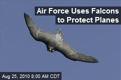 Air Force Uses Falcons to Protect Planes